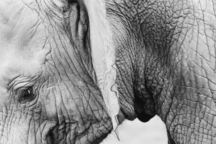 elephant-820147